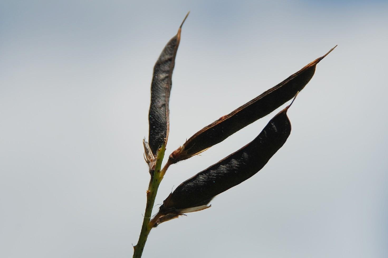 Lathyrus pratensis 7