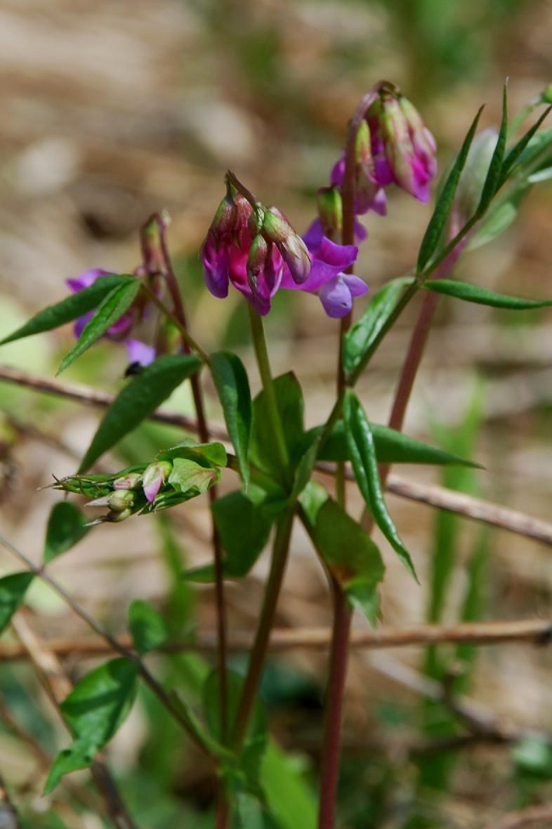 Lathyrus vernus subsp. vernus 10