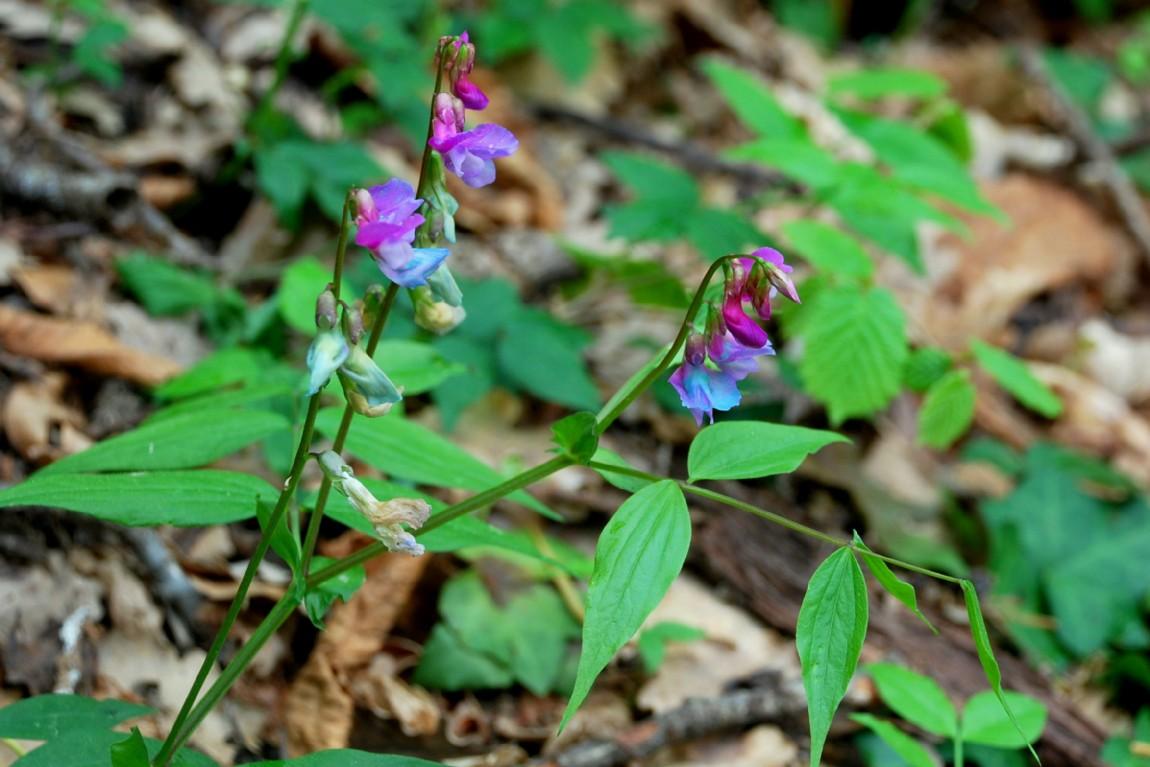 Lathyrus vernus subsp. vernus 14