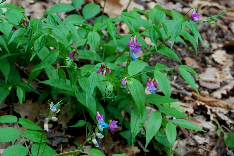 Lathyrus vernus subsp. vernus 15