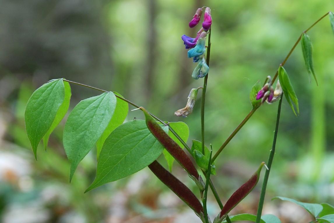 Lathyrus vernus subsp. vernus 9
