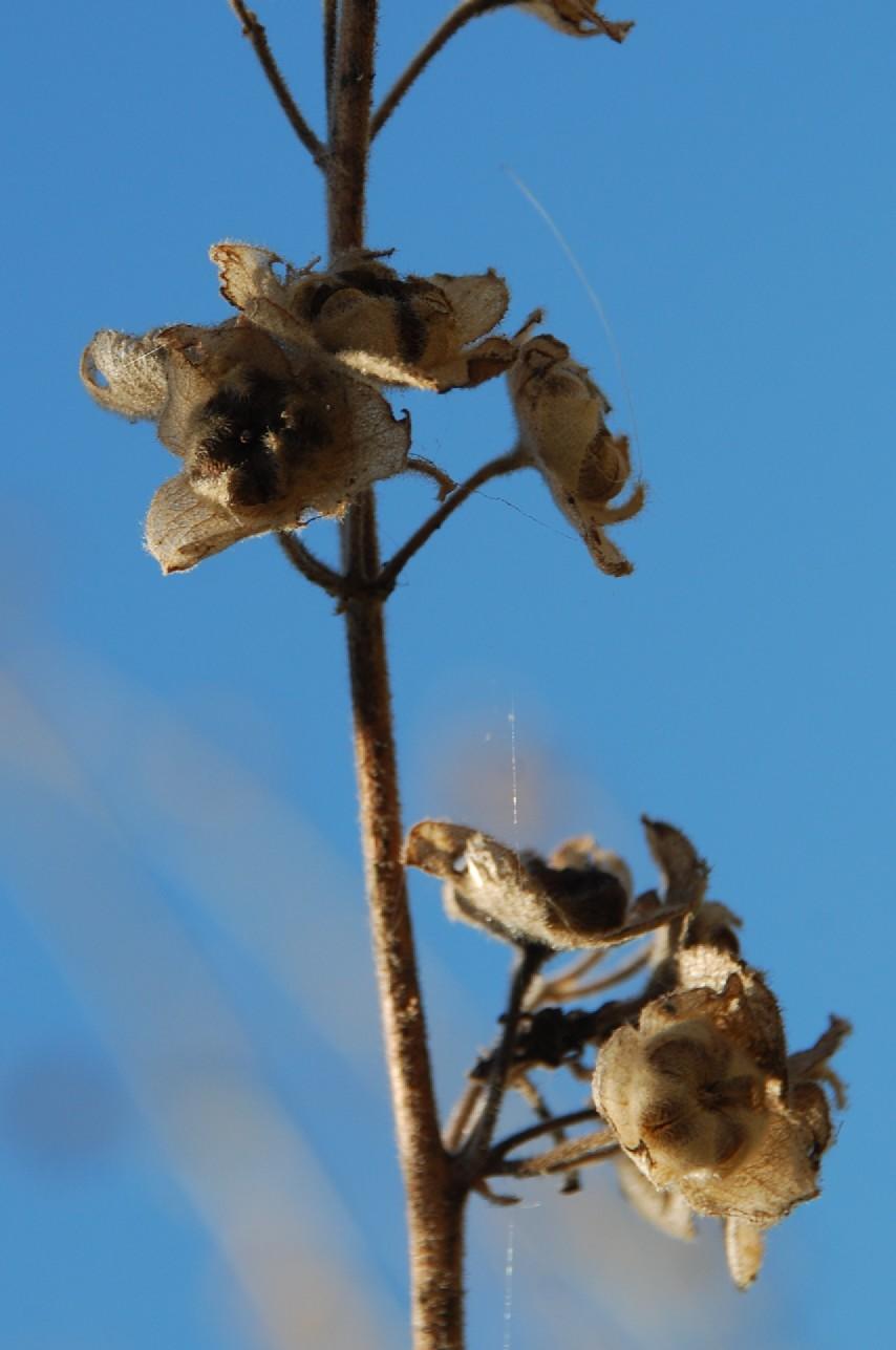 Lavatera arborea 9
