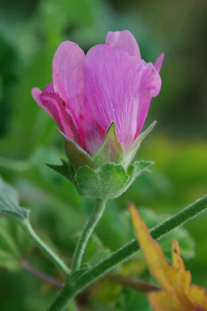 Lavatera thuringiaca subsp. ambigua 12