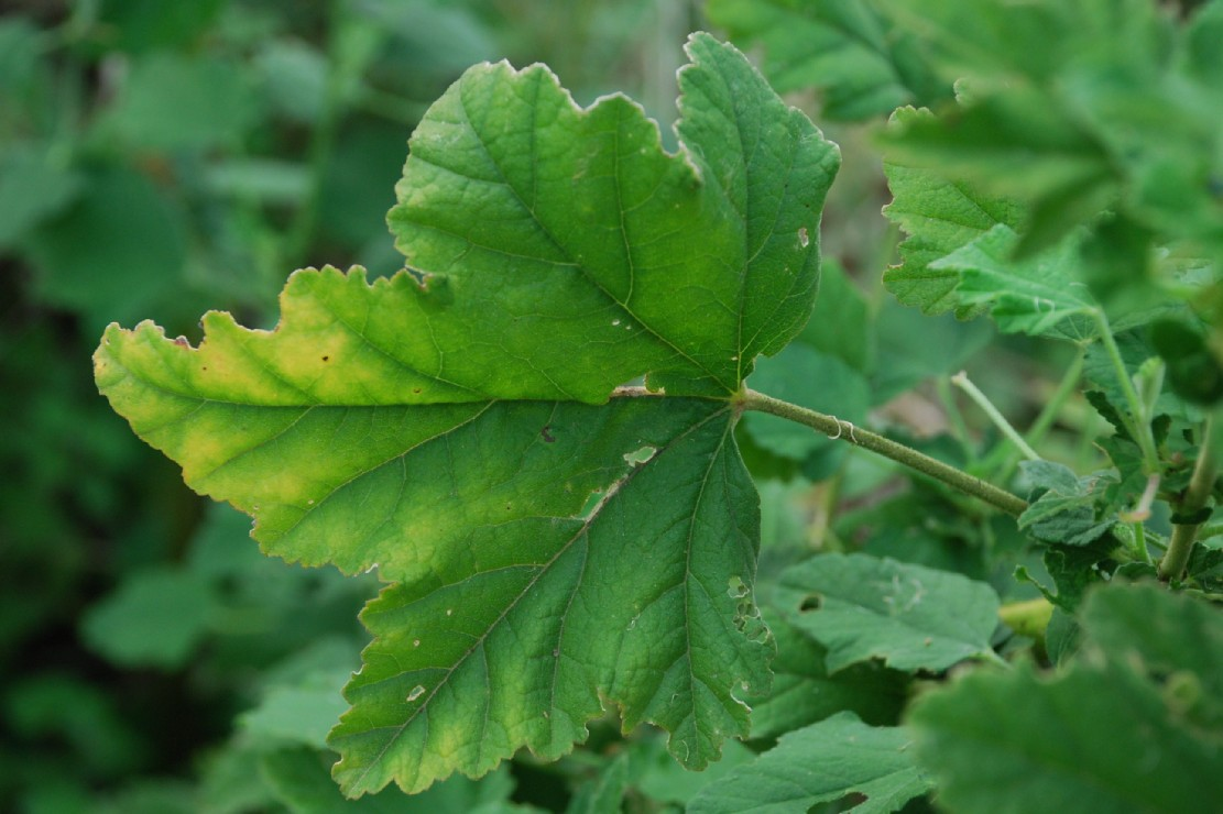 Lavatera thuringiaca subsp. ambigua 14