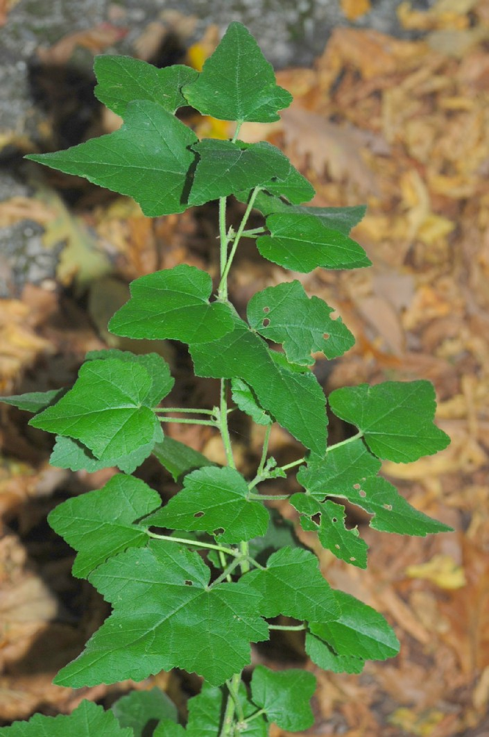 Lavatera thuringiaca subsp. ambigua 18