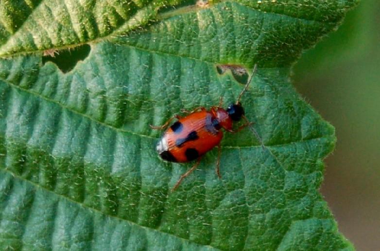 Lebia trimaculata - Carabidae