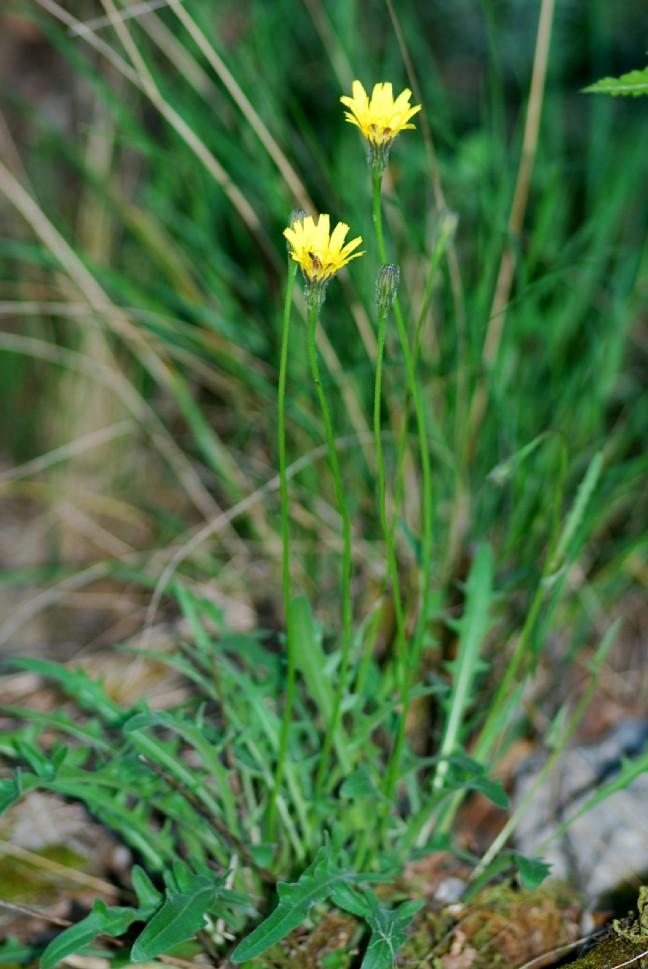Leontodon crispus subsp. asper