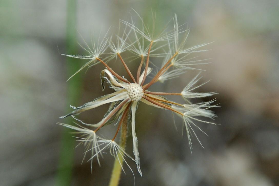 Leontodon crispus subsp. asper 10