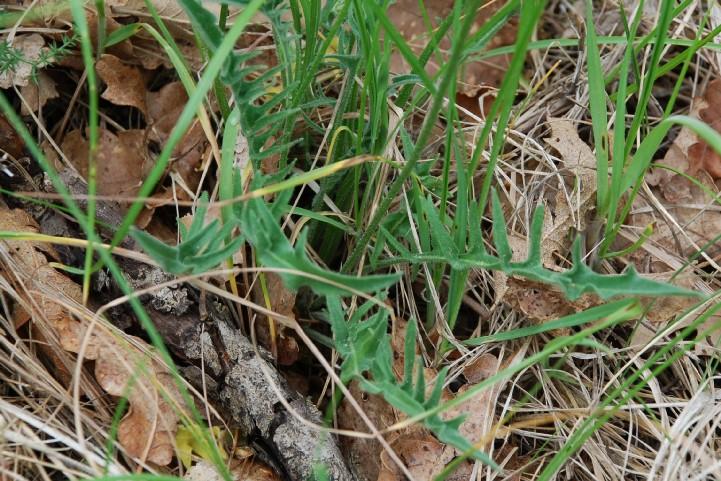 Leontodon crispus subsp. asper 17