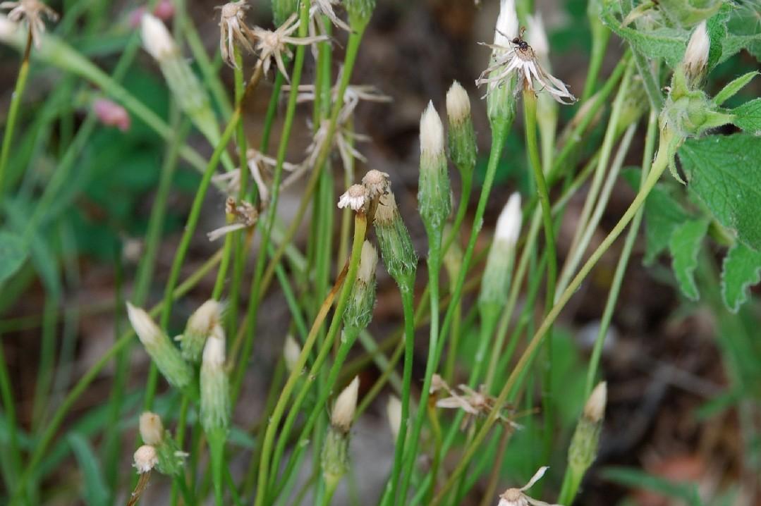 Leontodon crispus subsp. asper 18
