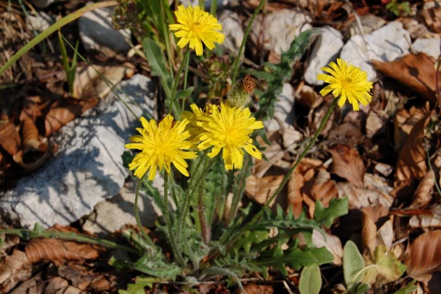 Leontodon crispus subsp. asper 4