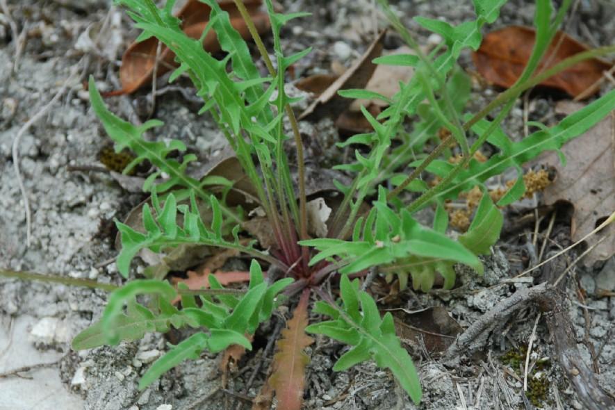 Leontodon crispus subsp. asper 9