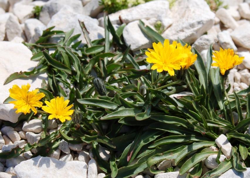 Leontodon montanus subsp. breviscapus
