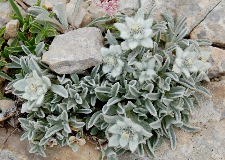 Leontopodium alpinum subsp. nivale