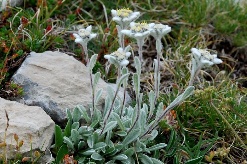 Leontopodium alpinum subsp. nivale 2
