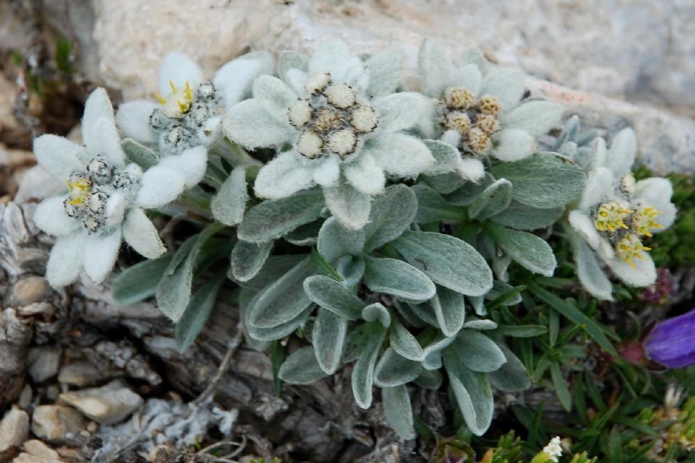 Leontopodium alpinum subsp. nivale 3