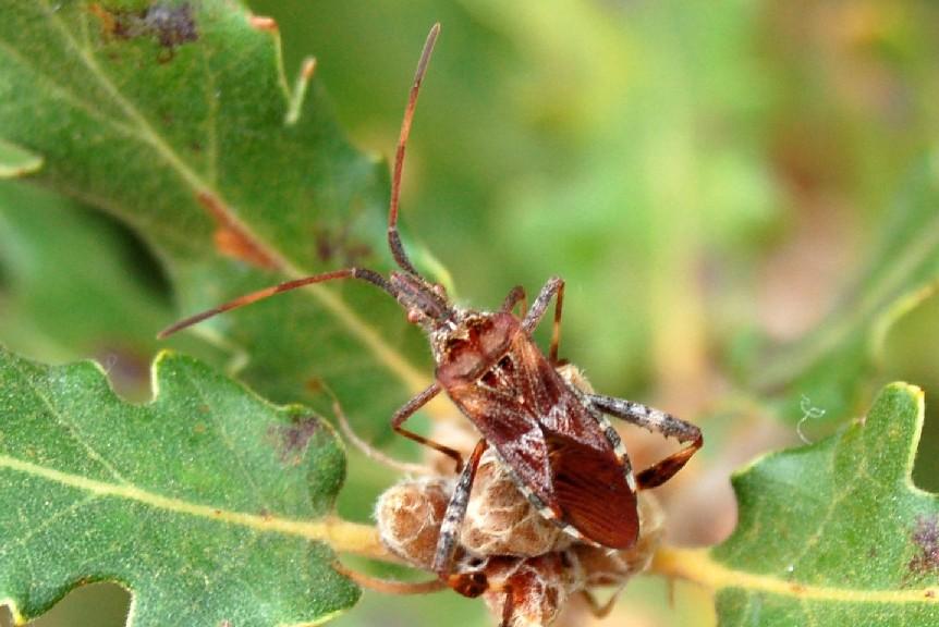 Leotoglossus occidentalis - Coreidae