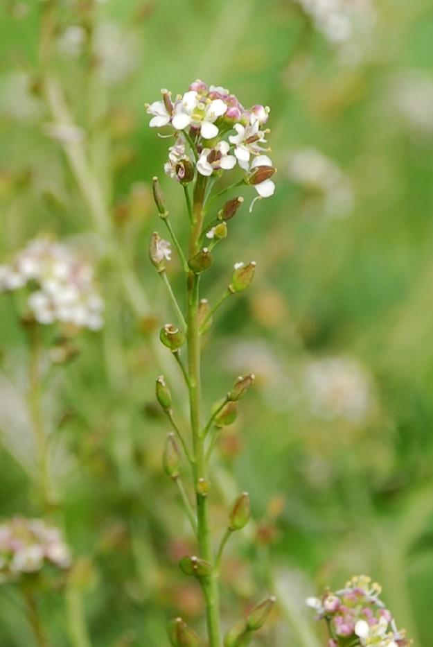 Lepidium graminifolium subsp. graminifolium 11