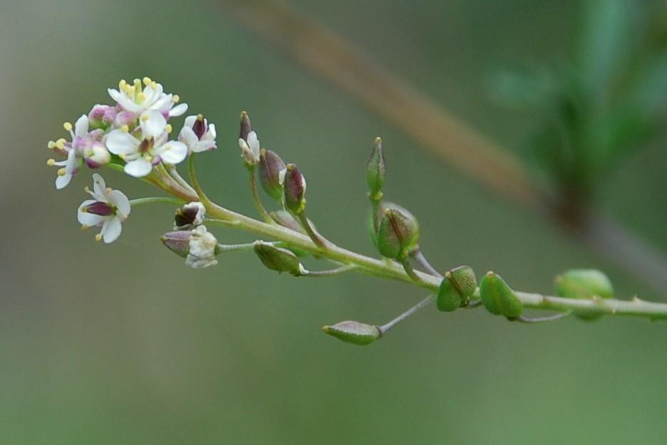 Lepidium graminifolium subsp. graminifolium