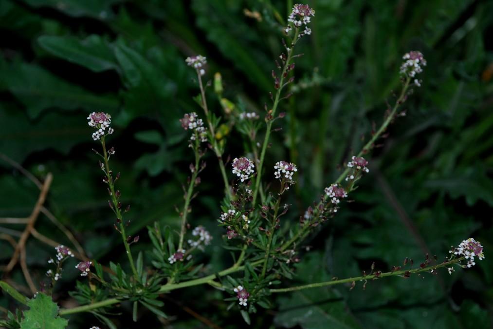 Lepidium graminifolium subsp. graminifolium 8