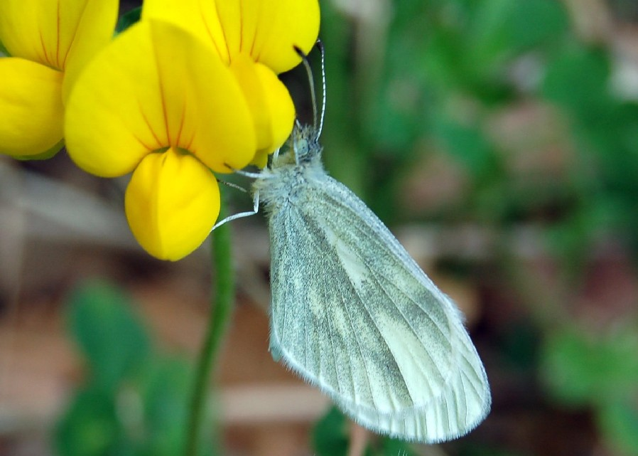 Leptidea sinapis - Pieridae