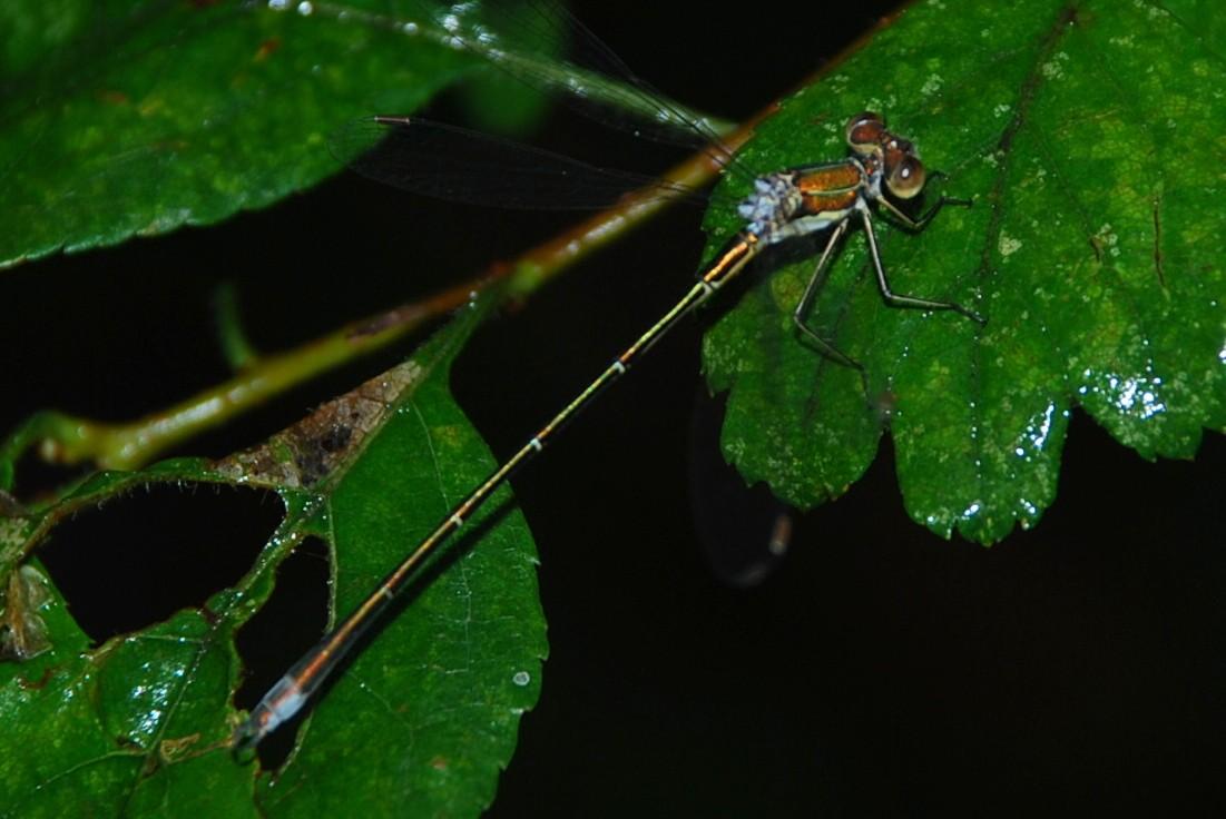 Lestes sp. - Lestidae