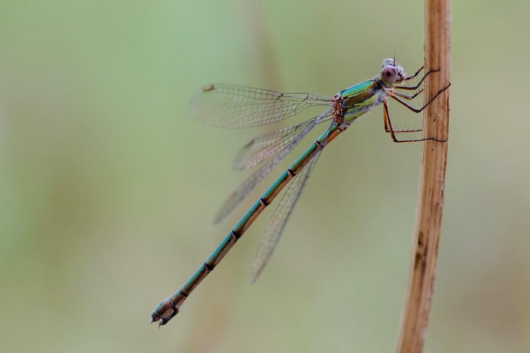 Lestes viridis (femmina) - Lestidae