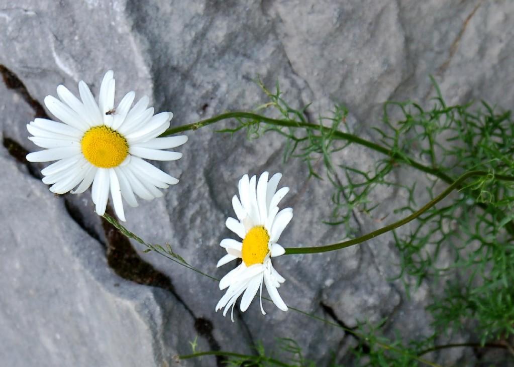 Leucanthemum ceratophylloides subsp. tenuifolium 2