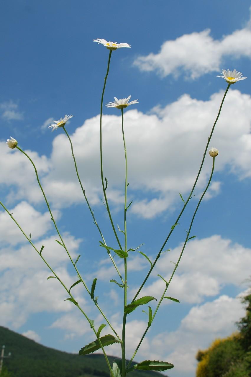 Leucanthemum pallens 11