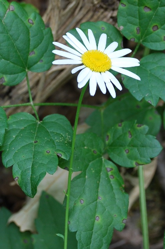 Leucanthemum pallens 12