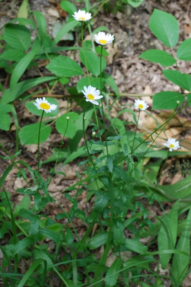 Leucanthemum pallens 14
