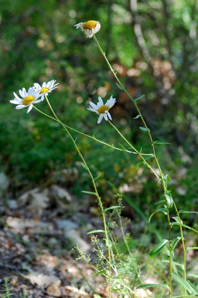 Leucanthemum pallens 16