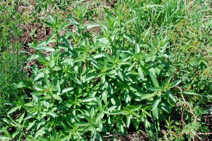 Leucanthemum pallens 21