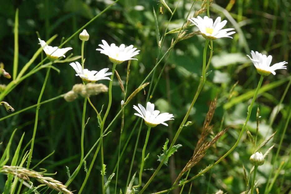 Leucanthemum pallens 6