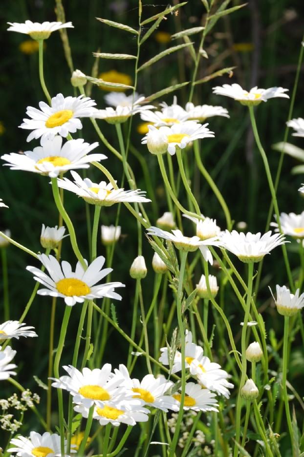 Leucanthemum pallens 8