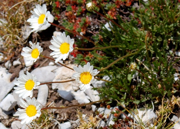 Leucanthemum tridactylites