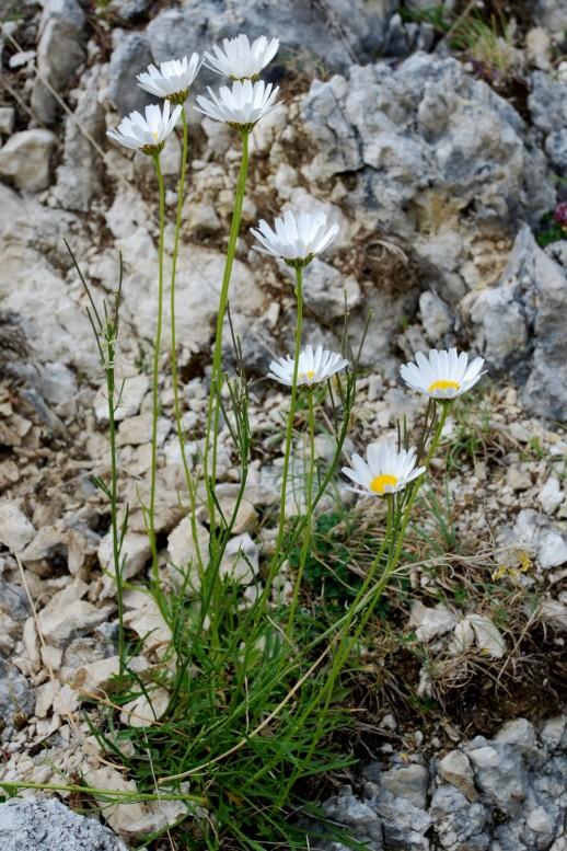 Leucanthemum tridactylites 3
