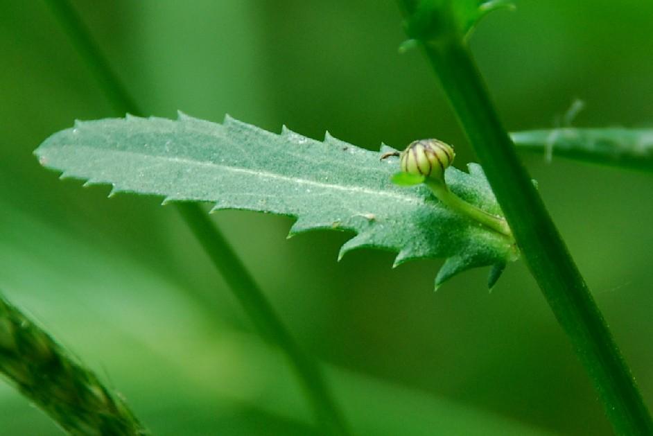 Leucanthemum vulgare 8