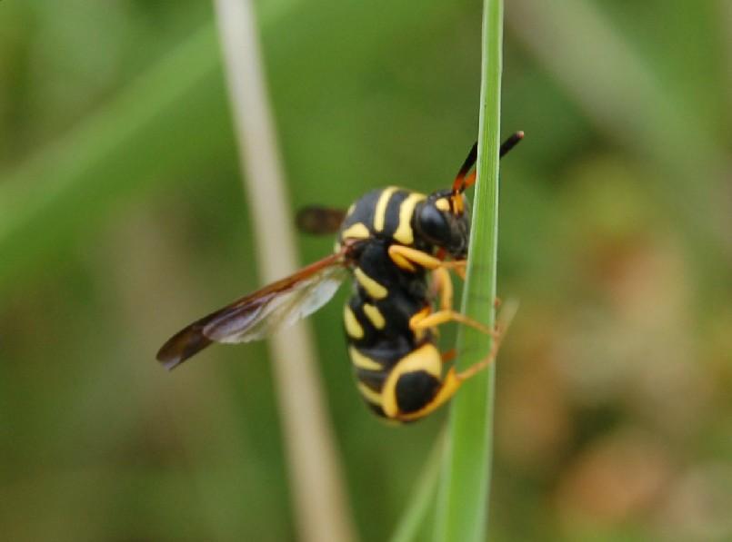 Leucospis sp. - Leucospididae