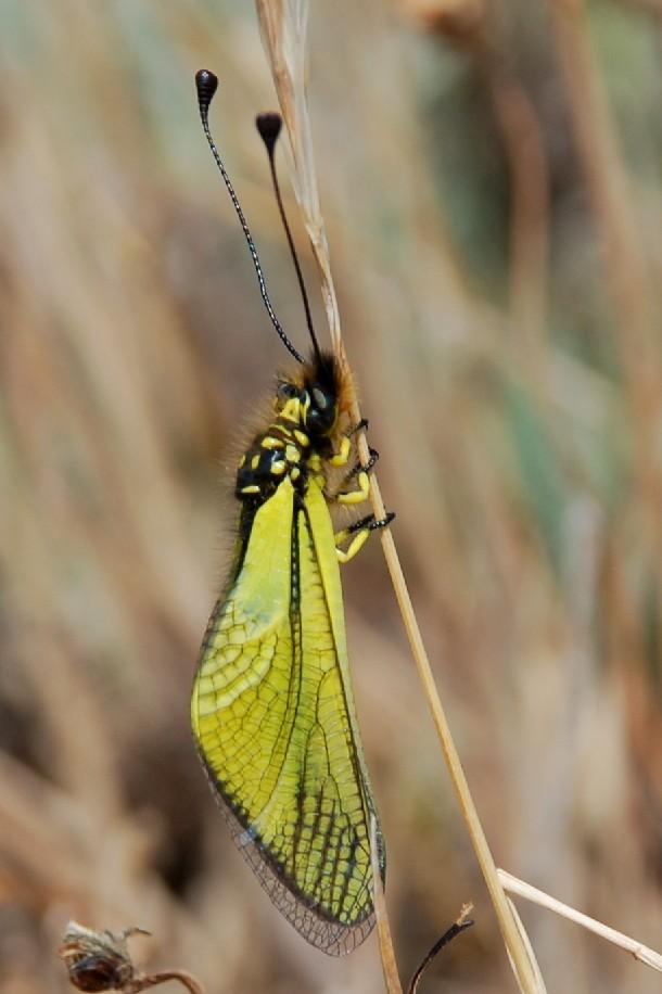 Libelloides latinus
