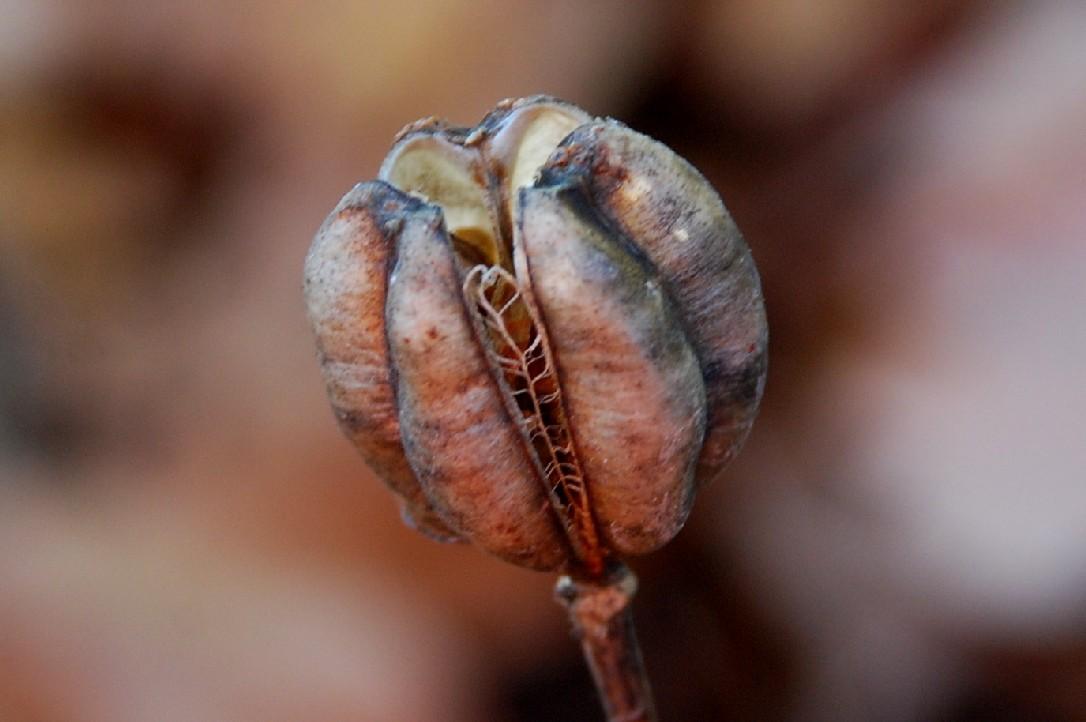 Lilium bulbiferum subsp. croceum 17