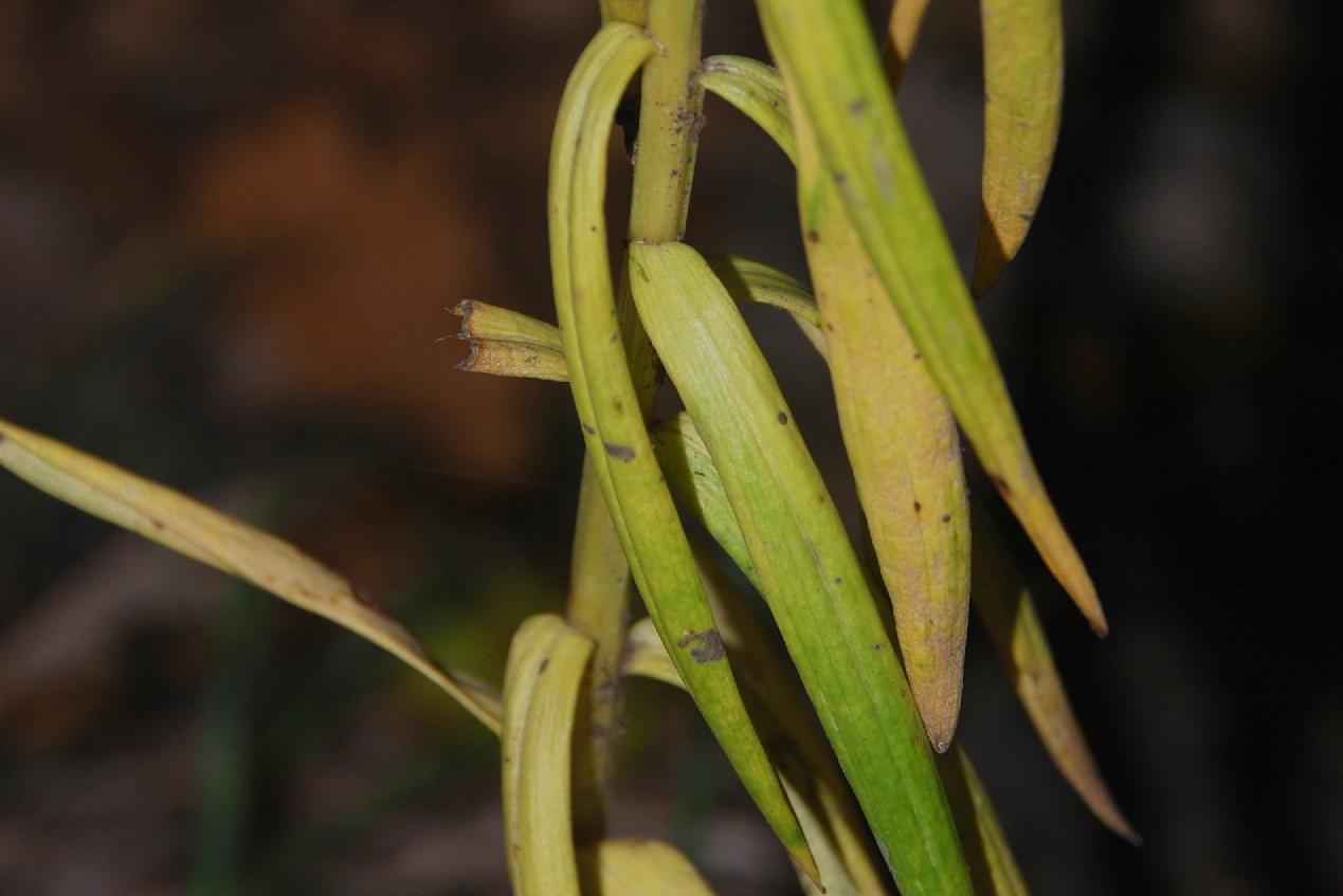 Lilium bulbiferum subsp. croceum 18