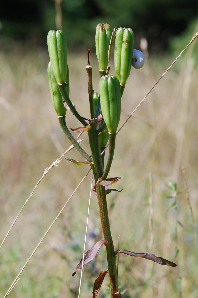 Lilium bulbiferum subsp. croceum 7