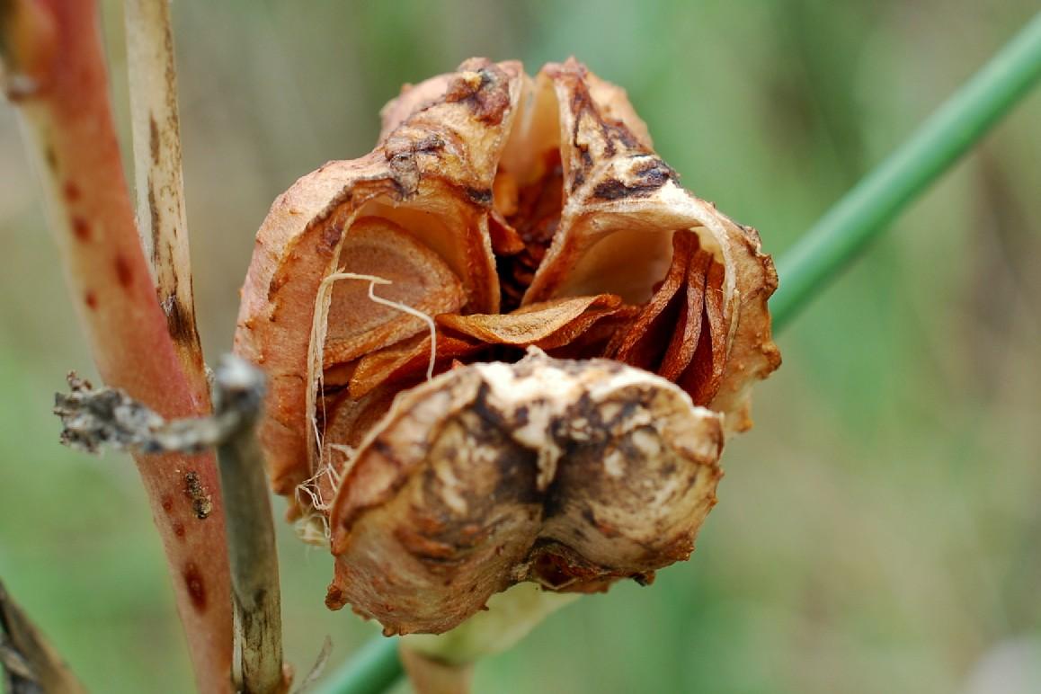Lilium candidum 14