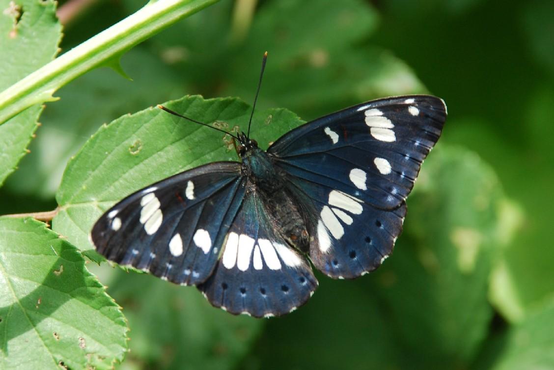 Limenitis reducta - Nymphalidae