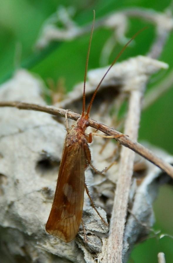 Limnephilus lunatus - Limnephilidae
