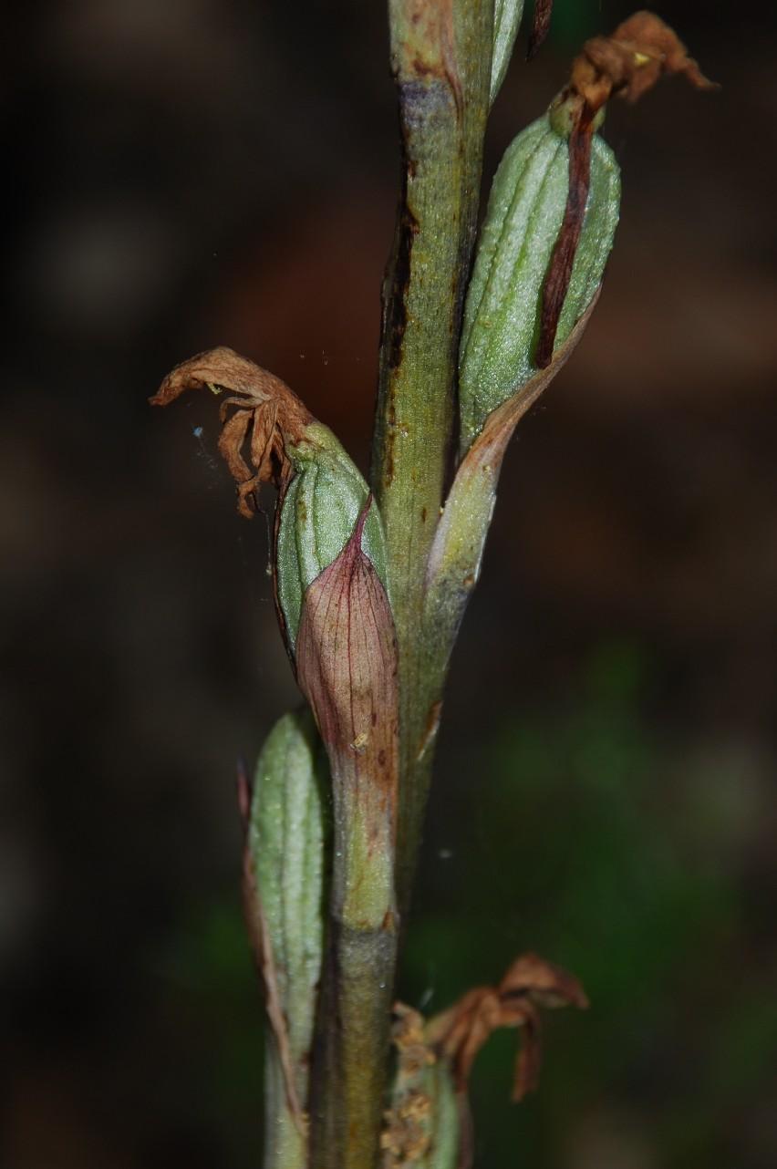 Limodorum abortivum 2