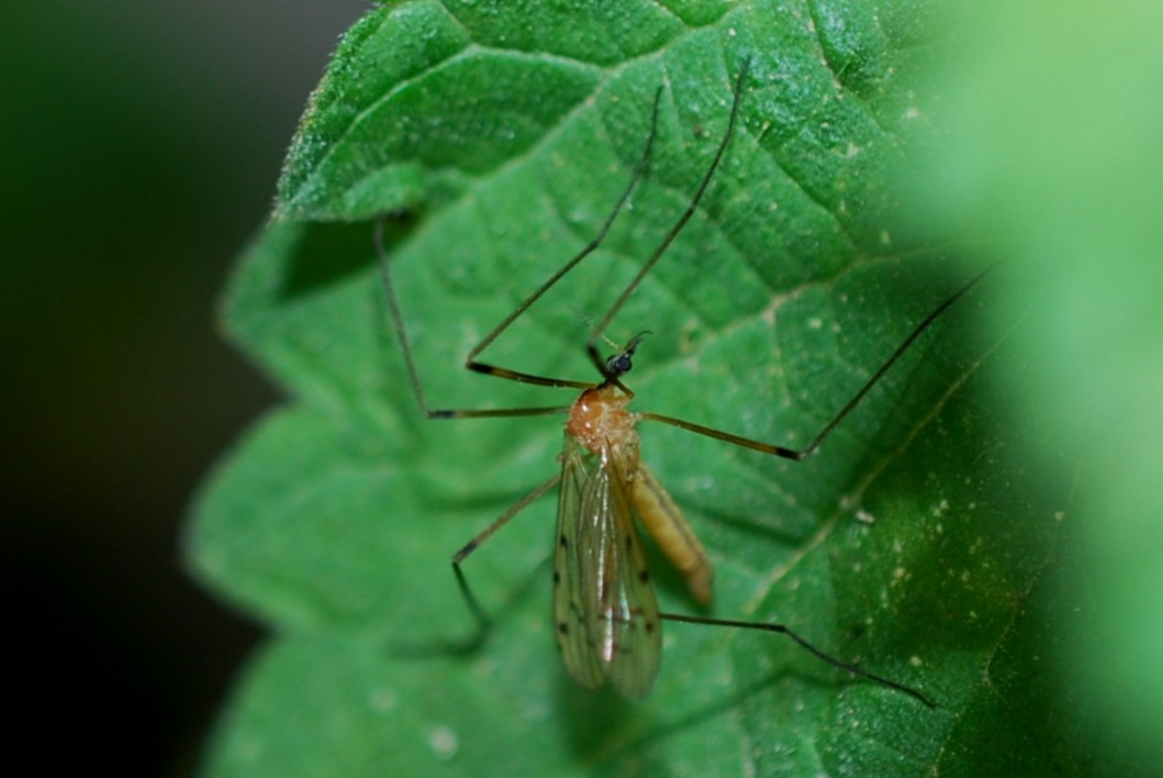 Limonia nigropunctata - Limoniidae