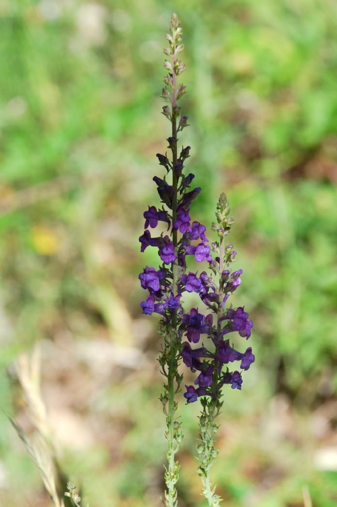 Linaria purpurea 10