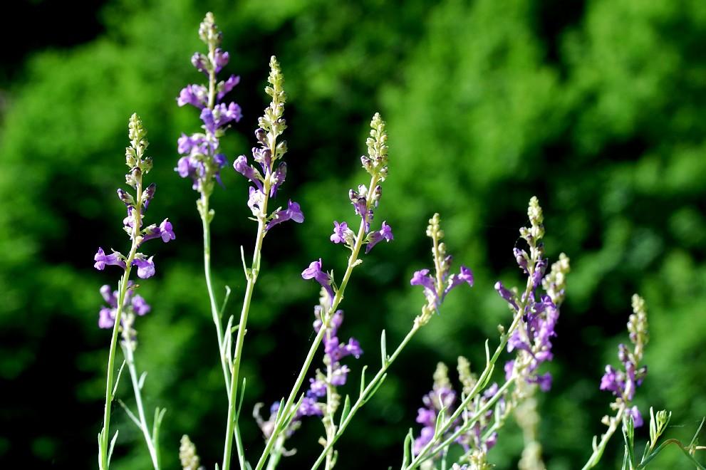Linaria purpurea 11